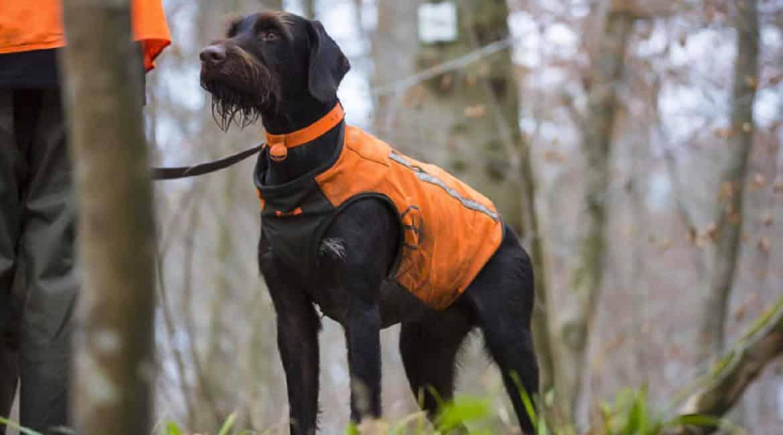 Chaleco Solognac Supertrack 900: un seguro de vida para tu perro de caza frente al jabalí