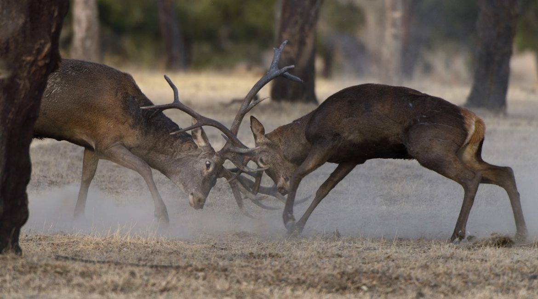 Dehesa: el descomunal documental sobre los dominios de toros, ciervos y linces que te enamorará