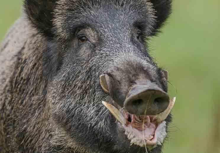 Los colmillos del jabalí pueden provocar heridas muy graves tanto a perros como a personas. /Shutterstock