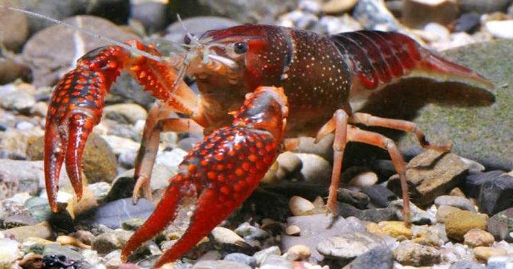 Multan con 4.000 euros a un jubilado por utilizar como cebo la cola de un cangrejo rojo