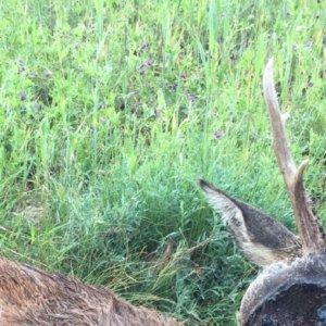 Cazan un extraño corzo en Soria con un espeluznante bulto en la cabeza