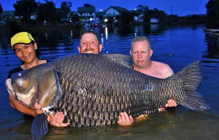 Pesca un carpa del tamaño de un jabalí: 105 kilos