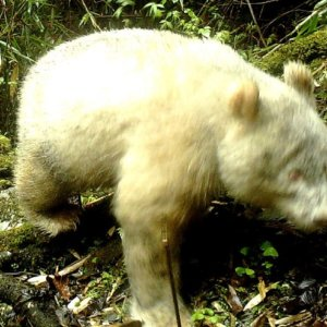 Avistan por primera vez en la historia unoso panda albinoenlibertad