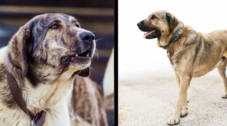 Mastín español vs Kangal: ¿cuál es mejor perro guardián de ganado? Así plantan cara al lobo