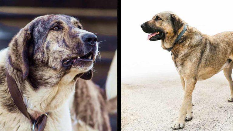 Mastín español frente a Kangal turco: ¿cuál es el mejor perro guardián de ganado?