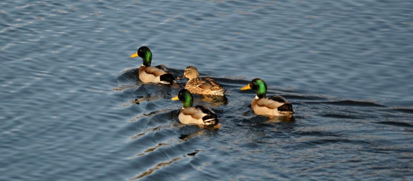 La gripe aviar vuelve a provocar la prohibición del uso de cimbeles vivos para la caza de acuáticas