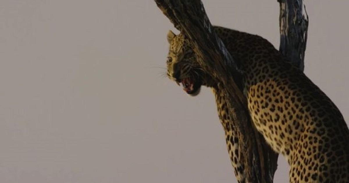 Estas son las impactantes imágenes que recogen el ataque de un leopardo a un reconocido actor