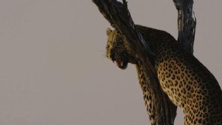 El leopardo en el momento en que vió el vehículo del grupo. / The Mirror
