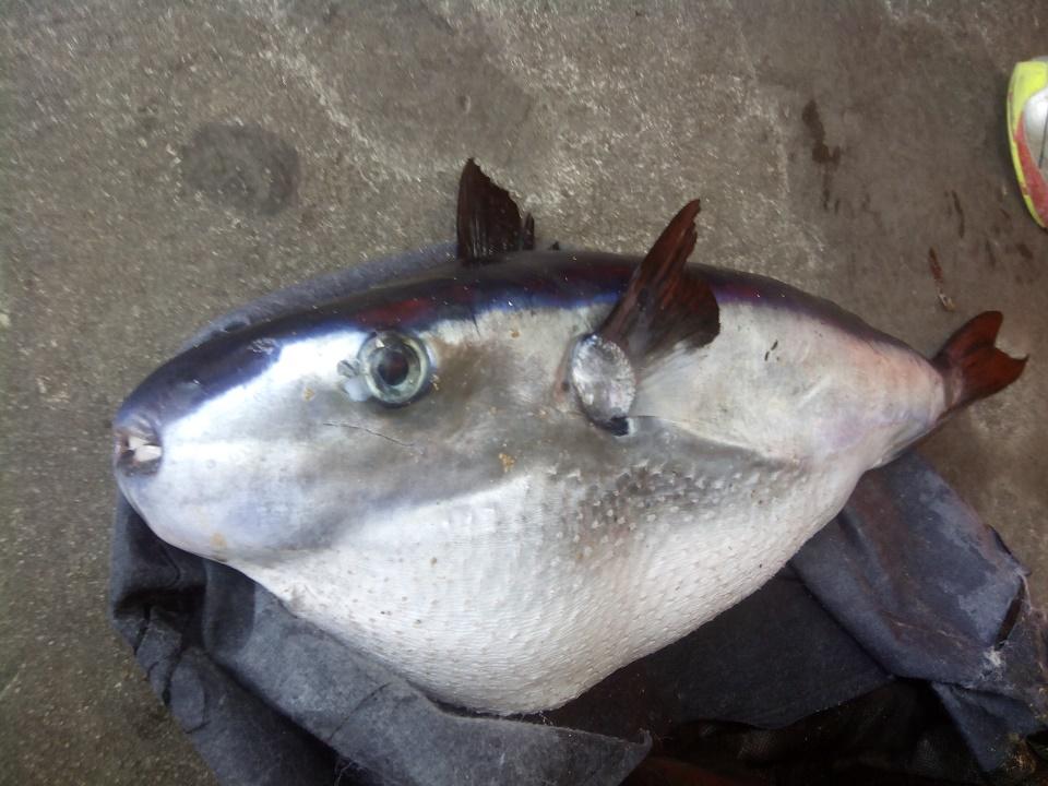 Encuentran un pez globo venenoso en la costa de Alicante