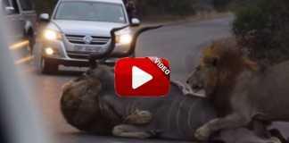 Dos leones cazan un kudu en plena carretera
