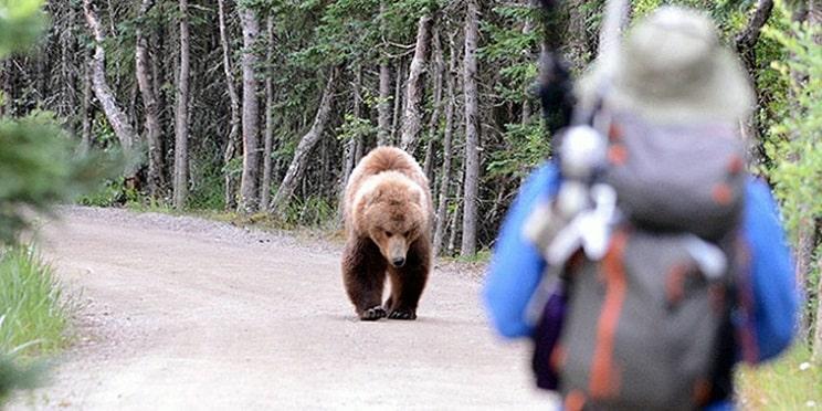 El oso pardo atacó 664 veces a personas entre 2000 y 2015