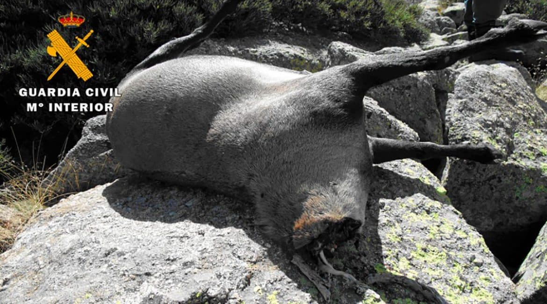 Pillados in fraganti cuatro furtivos en Gredos que abatieron un macho montés y escondieron su trofeo