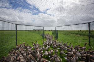 Holanda gasea 300.000 gansos