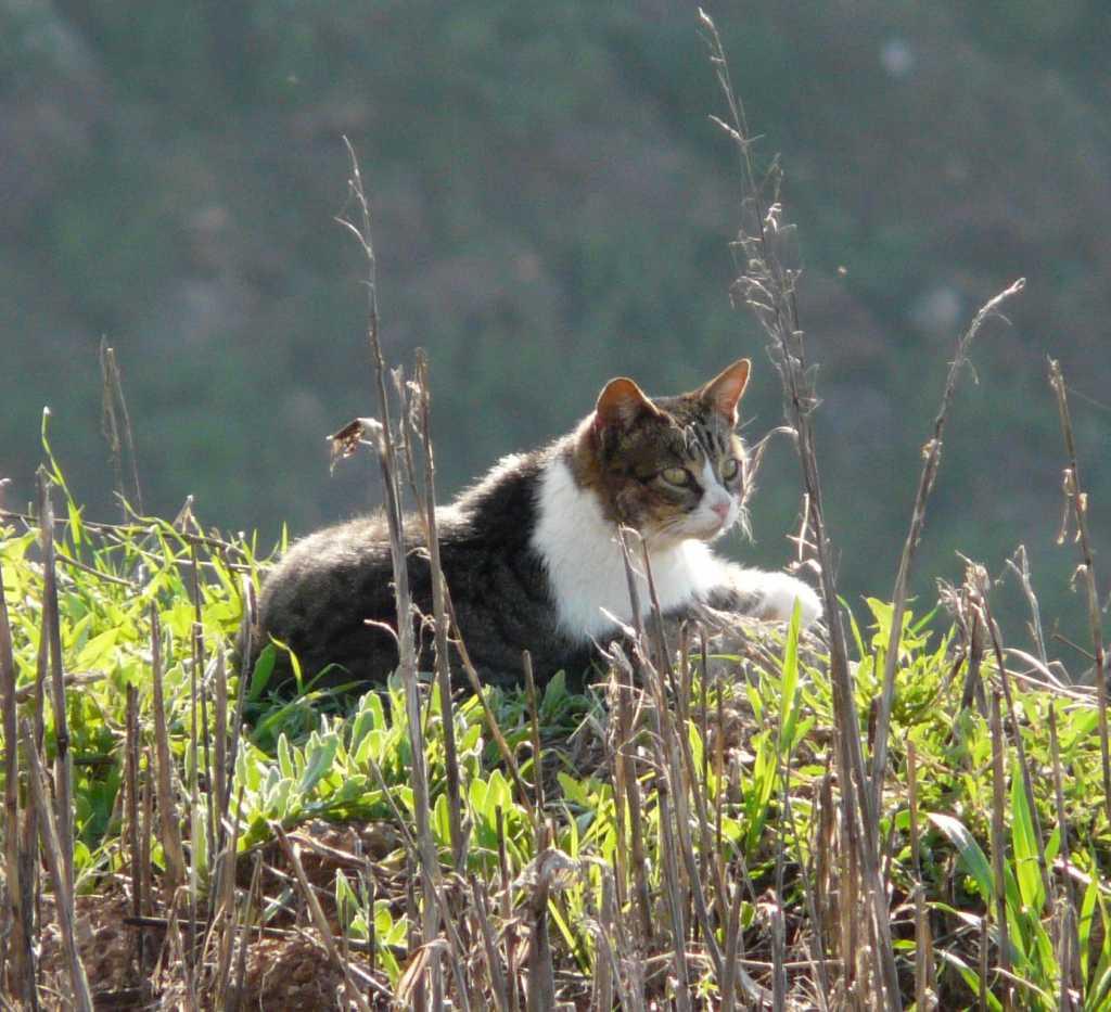 Gato asilvestrado