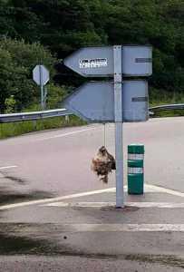Hallan la cabeza de un lobo colgada en un señal de tráfico.