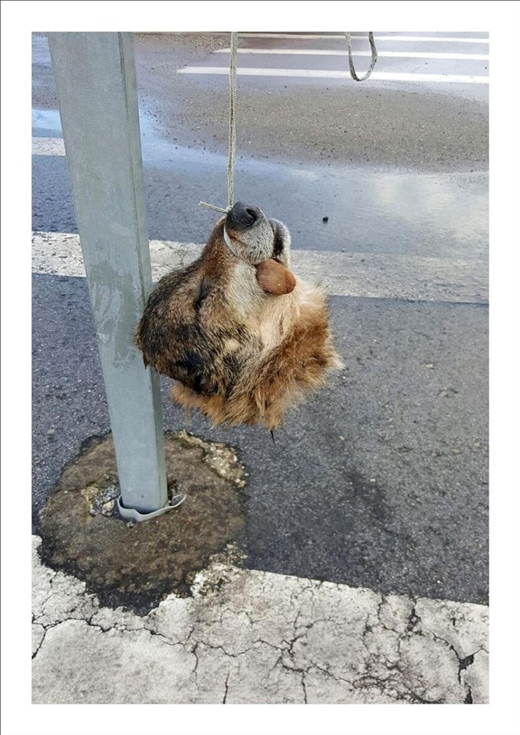 Hallan la cabeza de un lobo colgada en un señal de tráfico