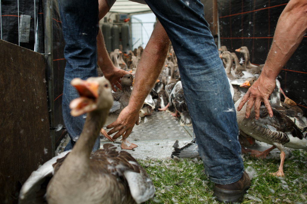 Holanda gasea 7.000 gansos a la semana / Jasper Juilen-New York Times