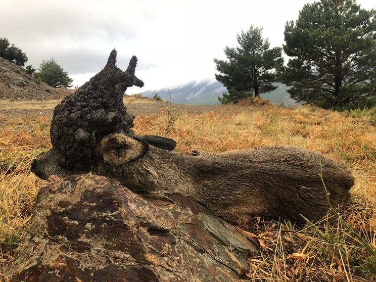 Un abulense caza un impresionante corzo 'peluca'