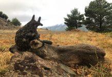 Corzco con peluca cazado en Salamanca / Fotografía: Carlos Blanco