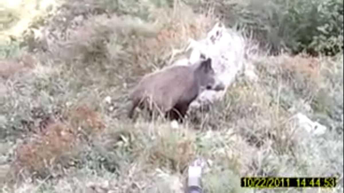 Un jabalí, indultado por un cazador a un metro de distancia