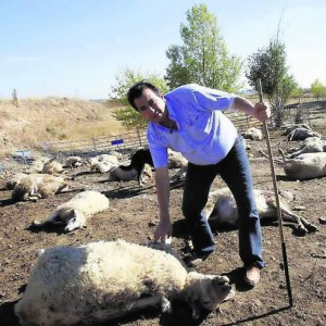 Ovejas muetras por ataque de lobo en Villamediana (Palencia) en una foto de archivo.