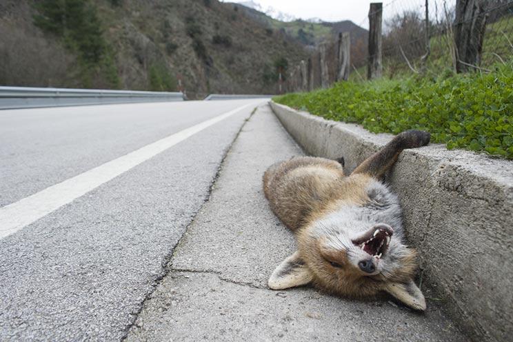 Zorro muerto como consecuencia del impacto de las carreteras en la fauna