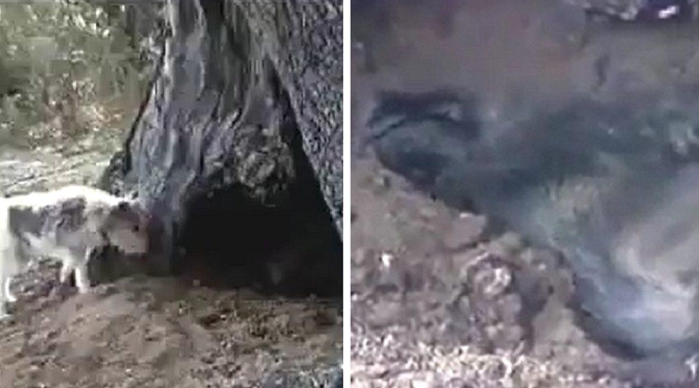 Un perro de caza se topa con un jabalí durmiendo como un tronco y reacciona así