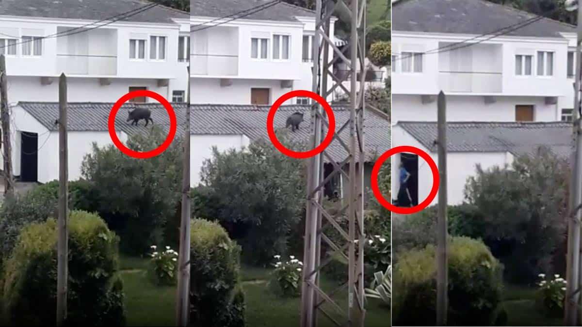 Insólito: Graban a un jabalí paseando por el tejado de una vivienda