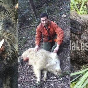 Jabalíes extraños: no creerás que estas criaturas se hayan cazado en España