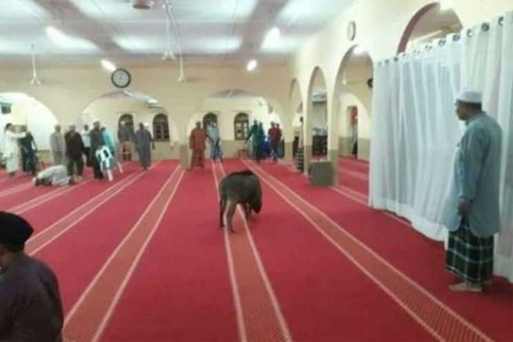 jabalí se cuela en una mezquita