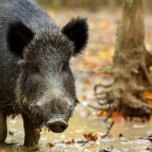 Peste porcina: 20 preguntas y respuestas sobre la enfermedad de la que todo el mundo habla