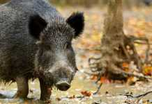 La peste porcina africana amenaza a los jabalíes / Fotografía: Jara y Sedal