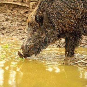Peste porcina: Hungría alerta de un nuevo caso