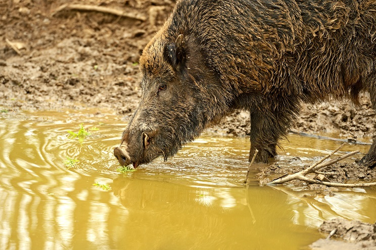 Aragón recomienda hacer más esperas al jabalí para frenar sus daños