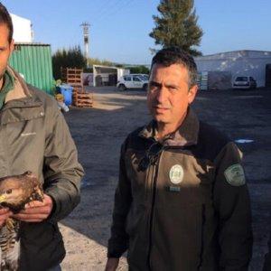 Un joven cazador rescata en Huelva a un águila ratonera herida