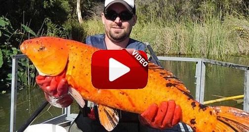 Captura un pez de acuario de 10 veces su tamaño normal