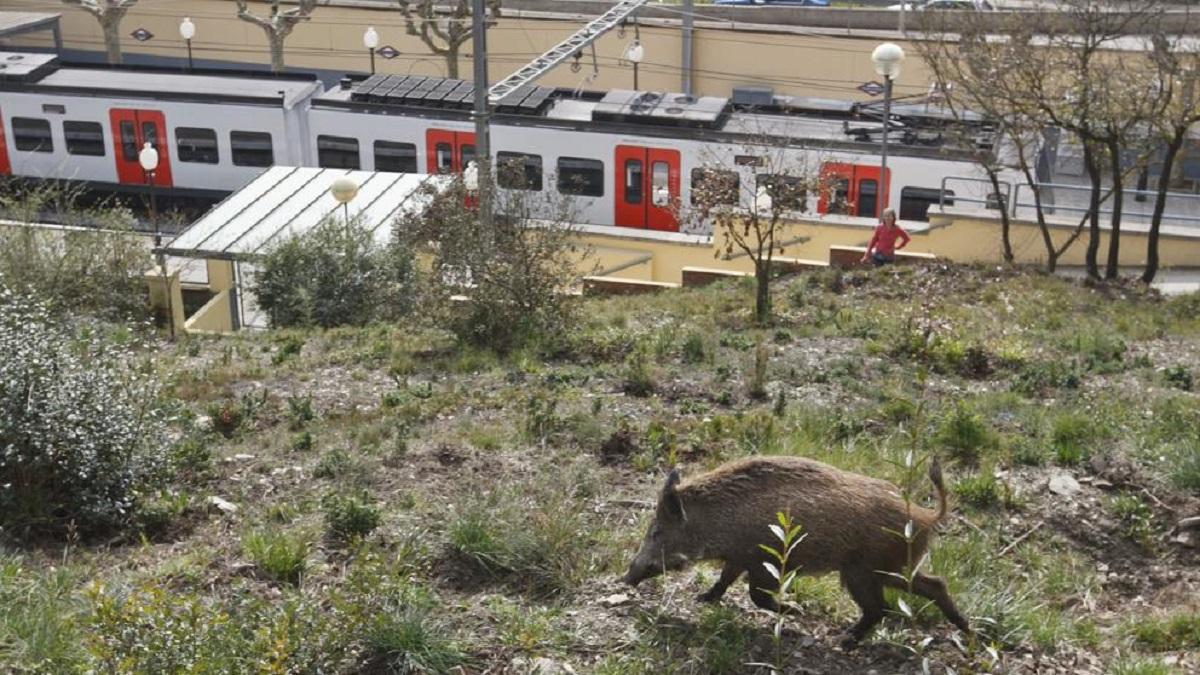 Un jabalí cerca de la estación de FGC del Baixador de Vallvidriera (Mané Espinosa - LVE)