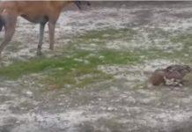 Dos galgos y una liebre terminan reventados después de una carrera | Video: autor desconocido