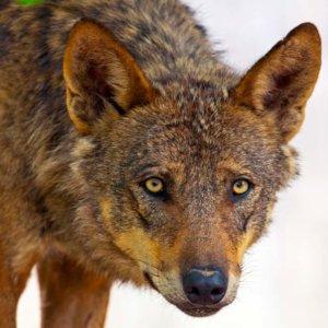 El Miteco abre un debate para decidir si prohíbe la caza del lobo en toda España