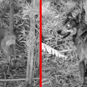Una cámara de fototrampeo graba a un lobo de caza tras un corzo en Lugo
