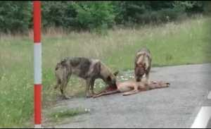 Lobos comiéndose un corzo en la carretera / Fotografía: Facebook