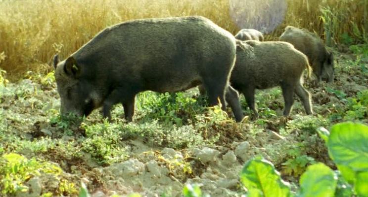 La Federación de Caza de la Comunidad Valenciana consideraría una temeridad reducir las batidas de jabalí