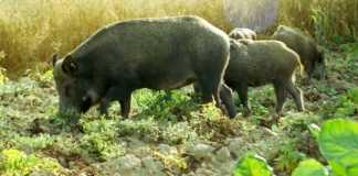 La FCCV considera una temaridad la reducción de batidas de jabalí