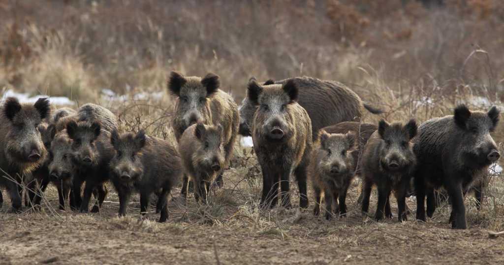 la-caza-de-jabalies-genera-en-cataluna-64-millones-de-euros