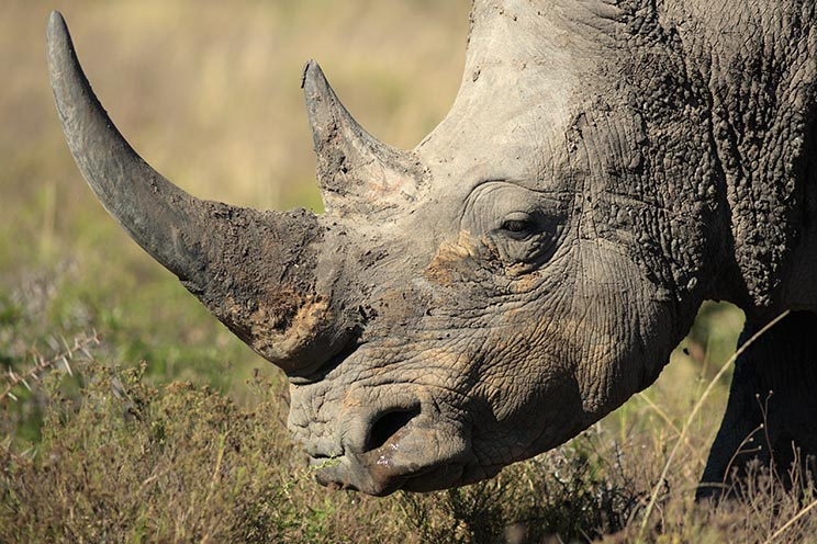 La caza puede ayudar a salvar a los rinocerontes