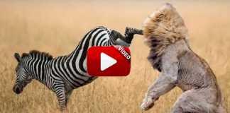 Lances fauna africana.