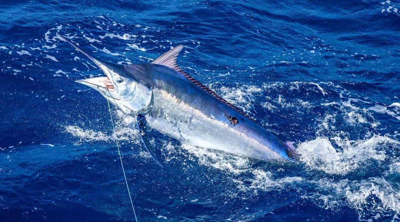 Un marlín salta a un barco y está a punto de clavar su espada en los pescadores