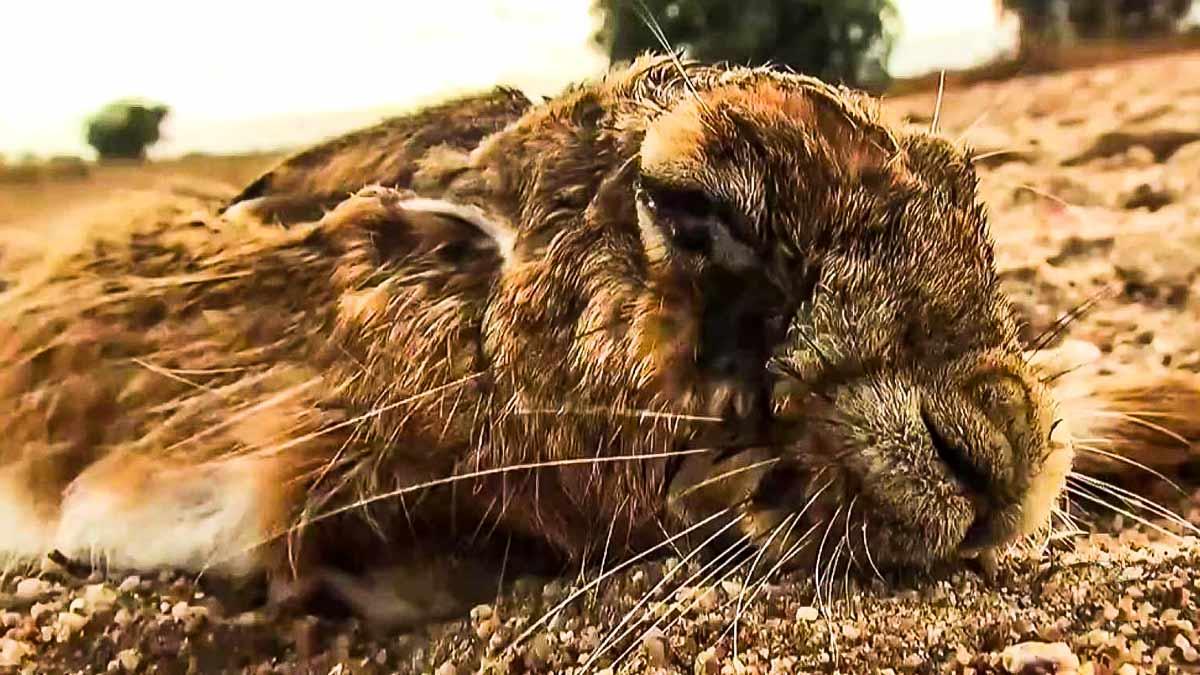 Un cazador graba a otra liebre con mixomatosis: la enfermedad sigue atacándolas