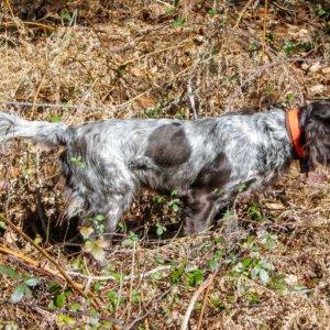 Kleiner münsterländer, el gran perro de caza que casi nadie conoce en España