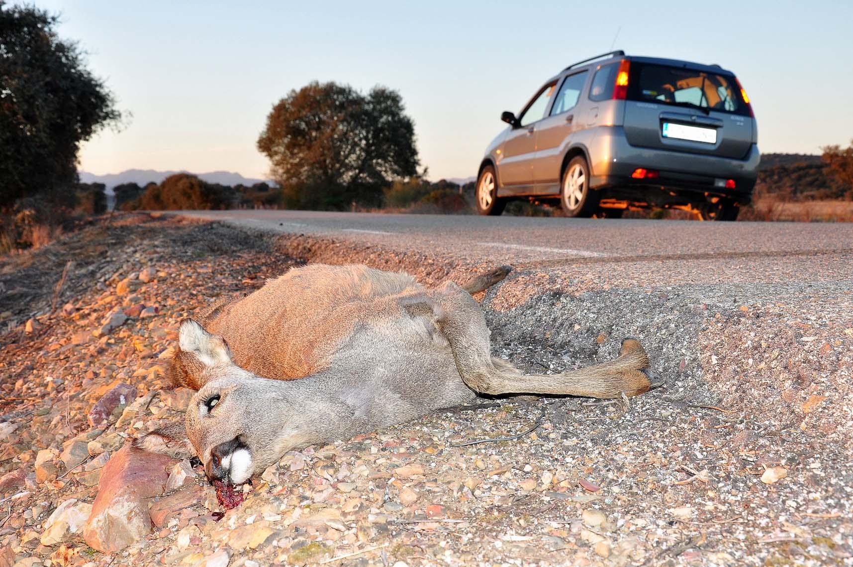 Gobierno y ONC acuerdan trasladar las mejoras en la normativa sobre accidentes con especies cinegéticas a la nueva Ley de Tráfico